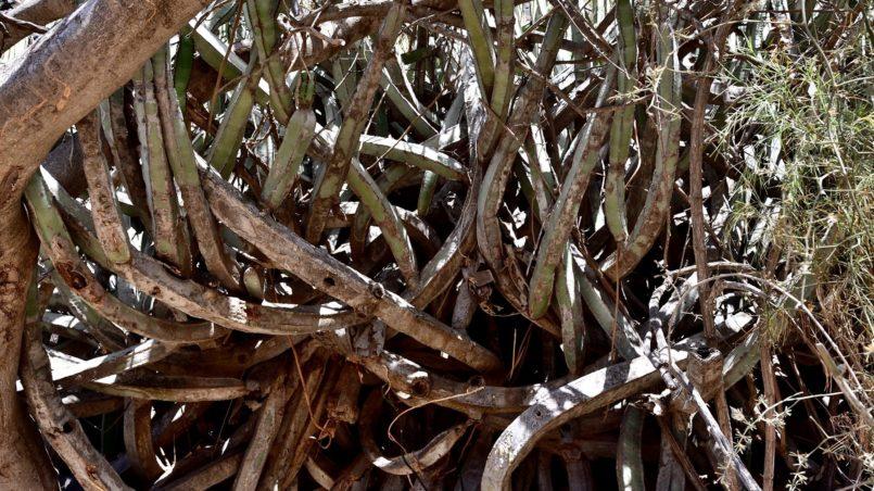 Teneriffa 2016 - Steinalter Kaktus