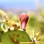 Teneriffa 2016 - Kaktusfrucht