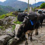 Bulls transporting goods