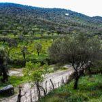 Olive trees around Roman Aqueduct