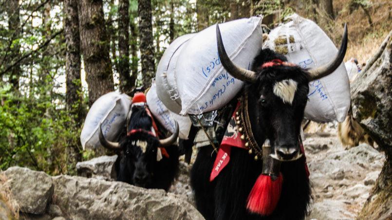 Ein Yak beim Transportieren von Waren