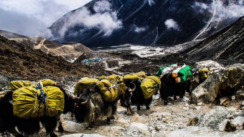 Herd of yak coming towards us 2