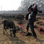 "The World's Largest Sacrificial Slaughter of Animals - ""Gadhimai Fair """