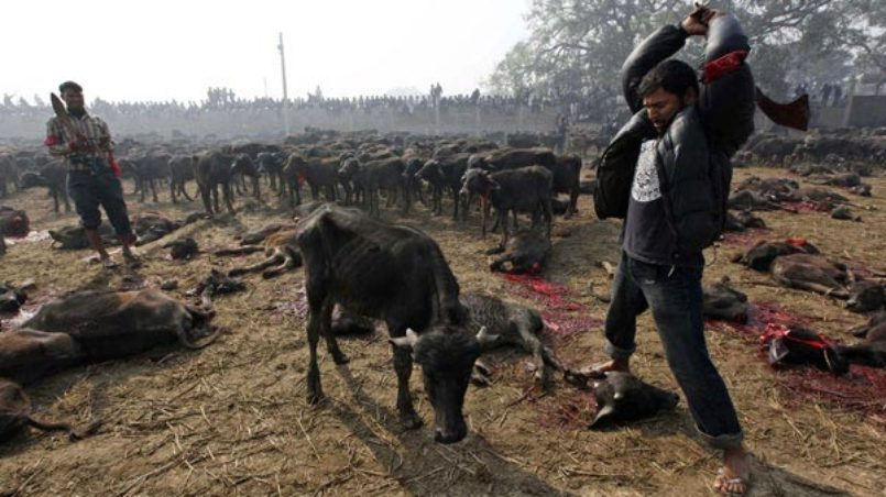 "The World's Largest Sacrificial Slaughter of Animals - ""Gadhimai Fair """