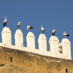 White storks in Marocco