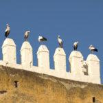 Weißstorche in Marokko
