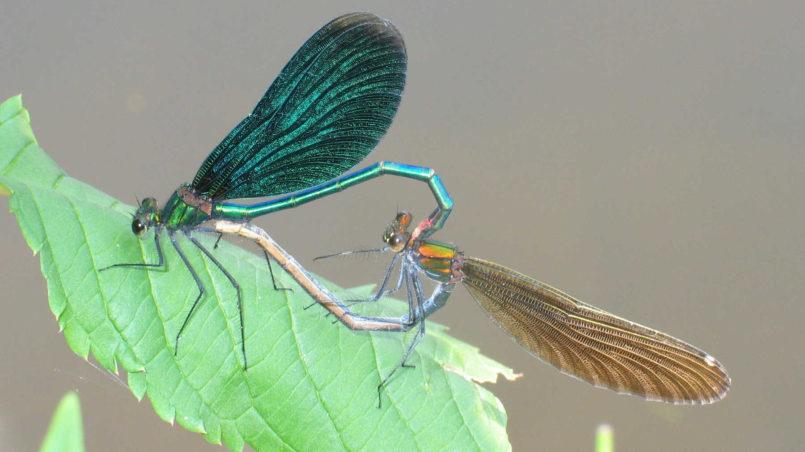 Blauflügel-Prachtlibellen im Paarungsrad