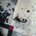 11-Wildlife im Zimmer: Skorpion